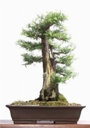 gro blattrige steineibe bonsai. Black Bedroom Furniture Sets. Home Design Ideas