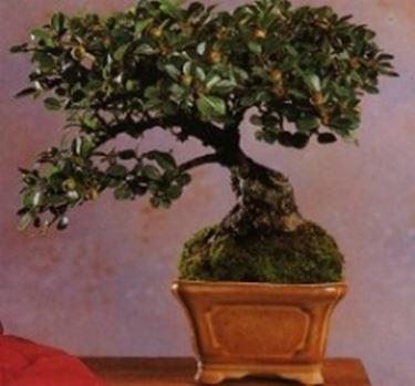 zwergmispeln bonsai. Black Bedroom Furniture Sets. Home Design Ideas