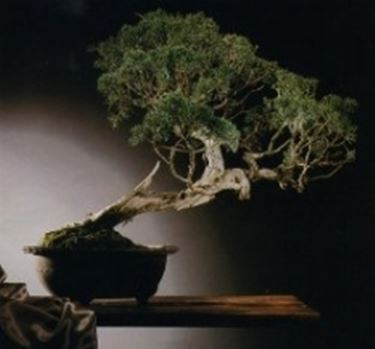 zypresse cupressus bonsai. Black Bedroom Furniture Sets. Home Design Ideas