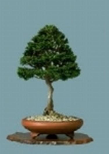zypresse cupressus bonsai. Black Bedroom Furniture Sets. Home Design Ideas