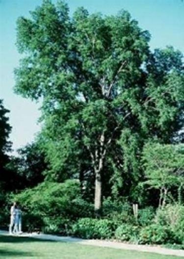 Europäischer Zürgelbaum