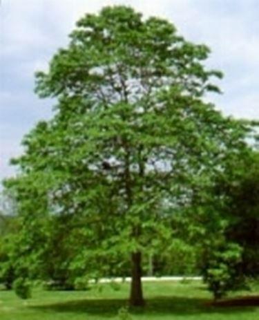 Fenchelholzbaum