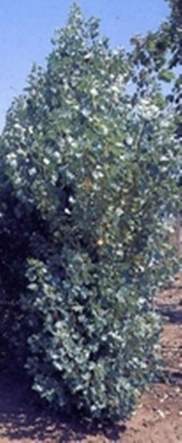 Schwarzpappel