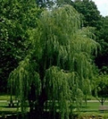 Silber-Weide