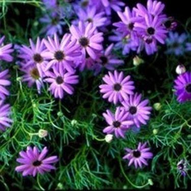 Blaues Ganseblumchen