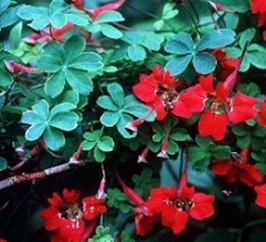 Tropeolum speciosum