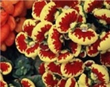Pantoffelblumen