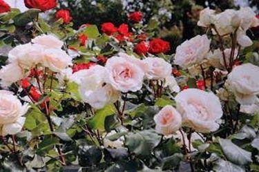 Und trockenheit gut geschützt rosen pflanzen rosen werden gemulcht