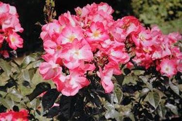 Rosen werden gemulcht