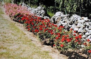 Rosen pflanzen rosen werden gemulcht