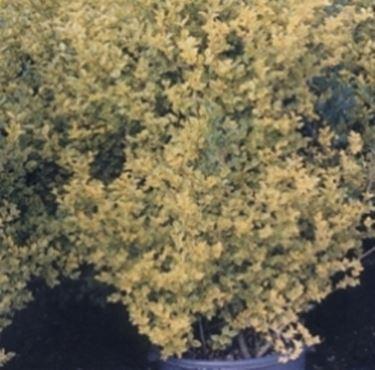 ligustro ovalifolium aurea