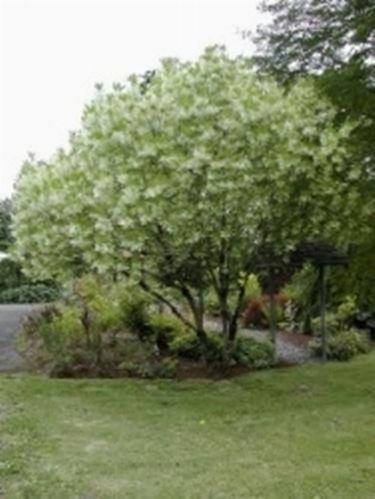 Chionanthus virginianum