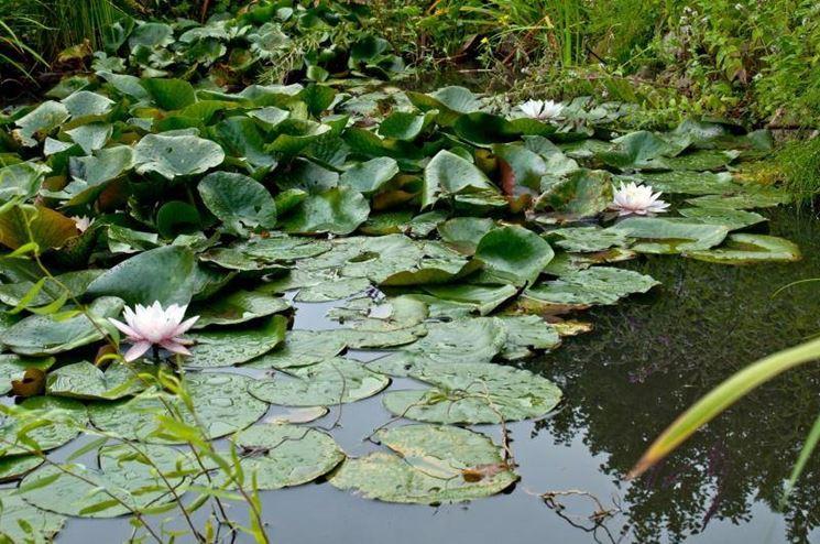 Gartenteich wasserpflanzen for Gartenteich sauerstoff