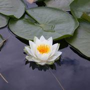 Lotusblumen