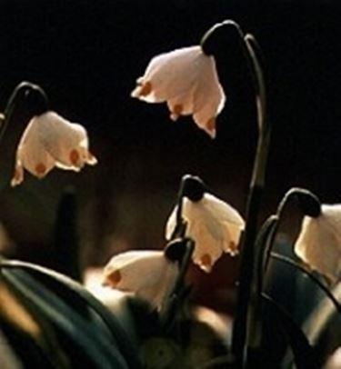 Knotenblumen