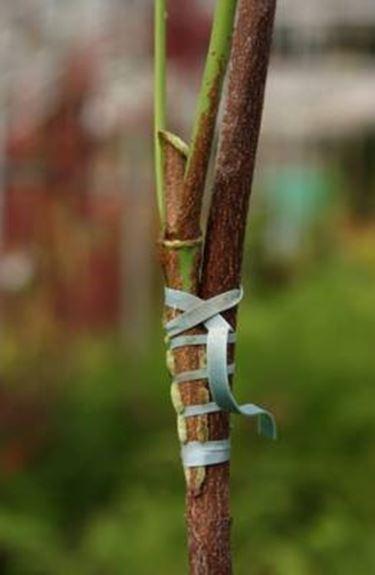 Pflanzenveredelung