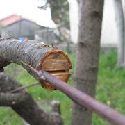 Veredelung von Obstbäumen