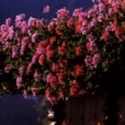 Üppige Blüte