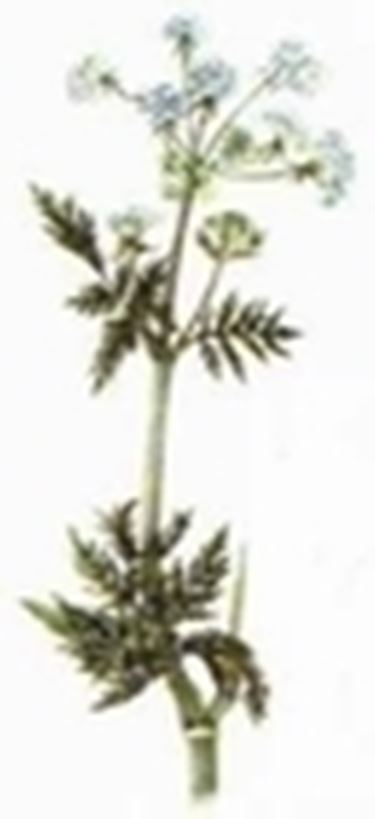 Gartenkerbel