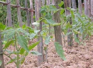 Tomaten Aussaat