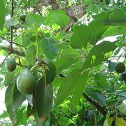 Avocado züchten