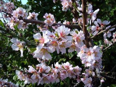 Prunus dulcis auspflanzen