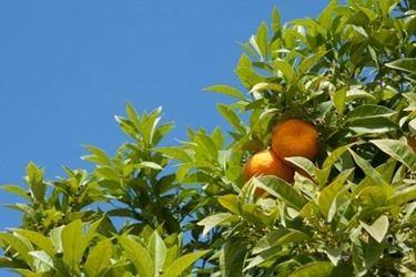 Citrus-Pflanzen