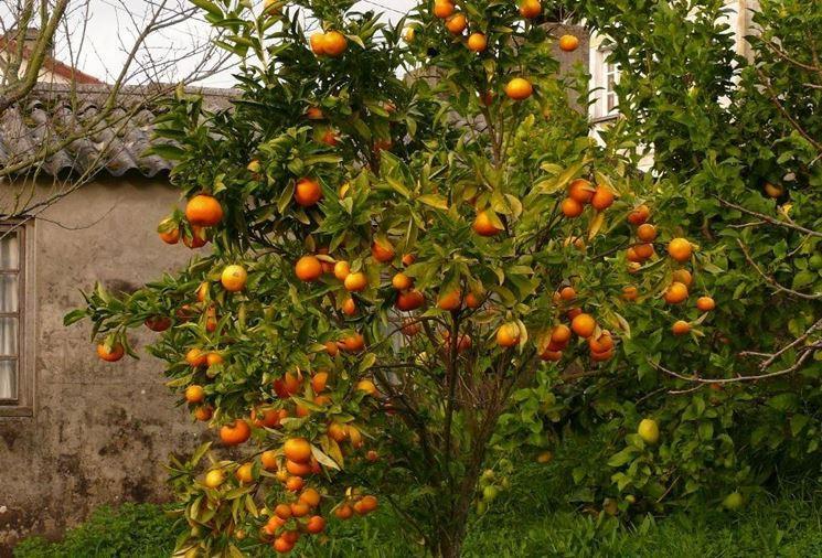 Mandarinenbäume