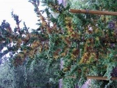 Blattlaus der Zypressen