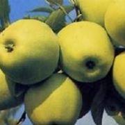 Die Apfelfr�chte