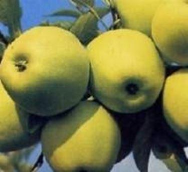 Die Apfelfrüchte