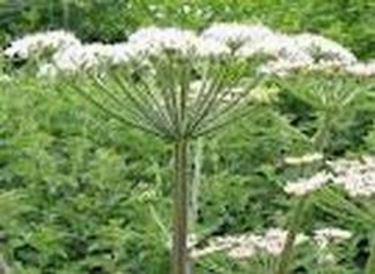 Fünfzählige Blüten