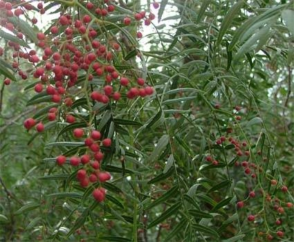 Echter pfeffer phytotherapie - Pfeffer zimmerpflanze ...