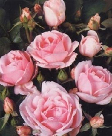 Blumensprache Rose