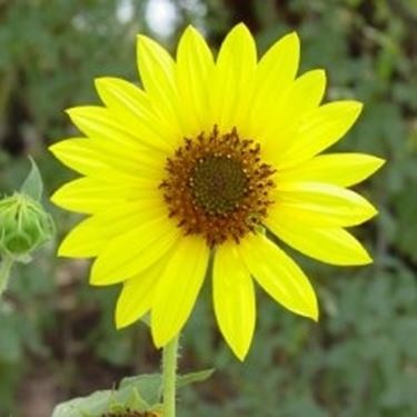 Blumensprache Sonnenblume
