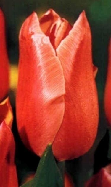 Blumensprache Tulpe