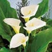 Calla in der Blumensprache