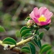 Barbados-Stachelbeere