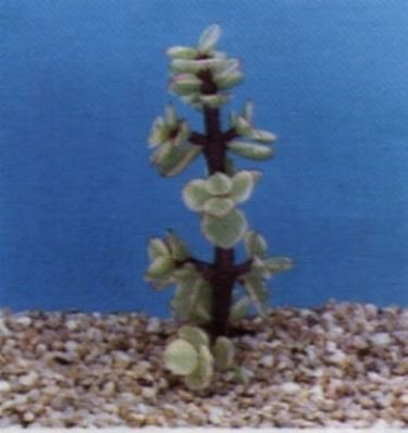 Jadebaum