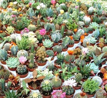 Kakteen Pflanzen