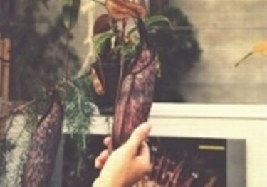 Kannenpflanzenart