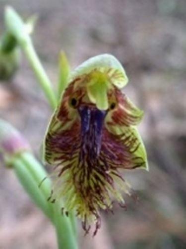 Calochilus