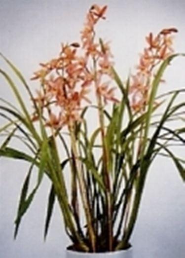 cymbidium orchideen. Black Bedroom Furniture Sets. Home Design Ideas
