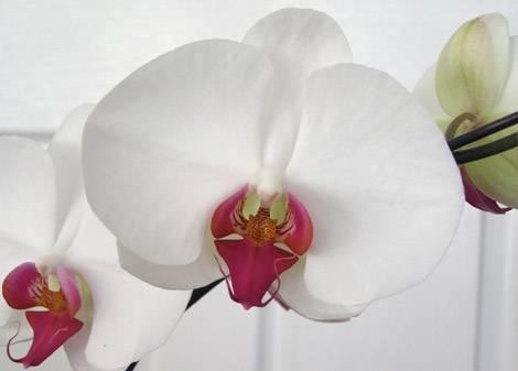 schmetterlingsorchidee orchideen. Black Bedroom Furniture Sets. Home Design Ideas