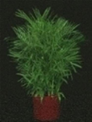bergpalme