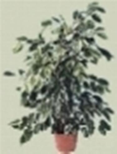 Birkenfeige