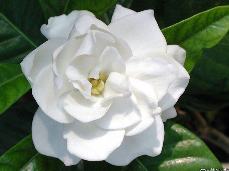 gardenien